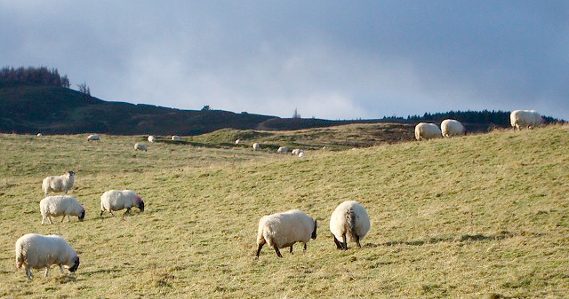 Welsh sheep farmers 'unprepared for tagging rule change'