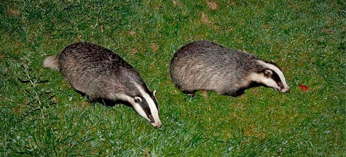 Badger vaccination project to be suspended