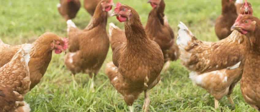 Global supply rebalancing and avian influenza - key themes for 2016 poultry performance