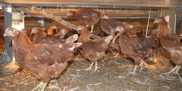 Germany culls 13,000 birds after avian flu detected