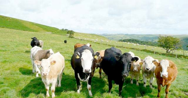 Survey aims to learn from farmers' approach to livestock pain management