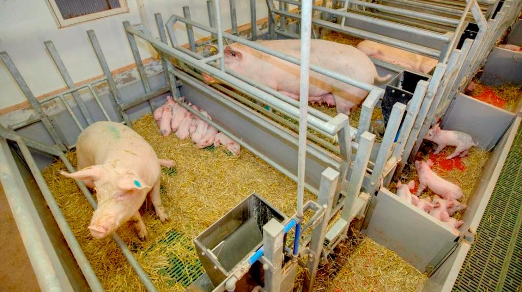 360 Sow Pen Wins Science Award Farming Uk News