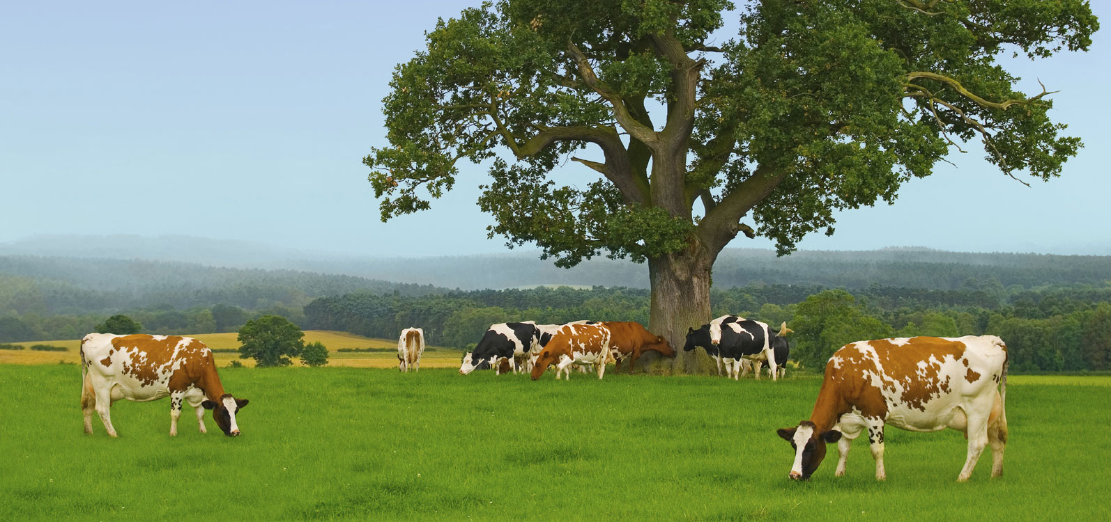 Instead Of Guaranteeing A Fair Price For UK Dairy Farmers The Governments Response Has Been