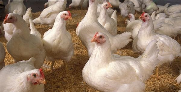 40,000 birds to be culled after tests confirm avian flu