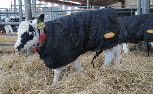 Sainsbury's supports British farmers by keeping their calves warm this winter