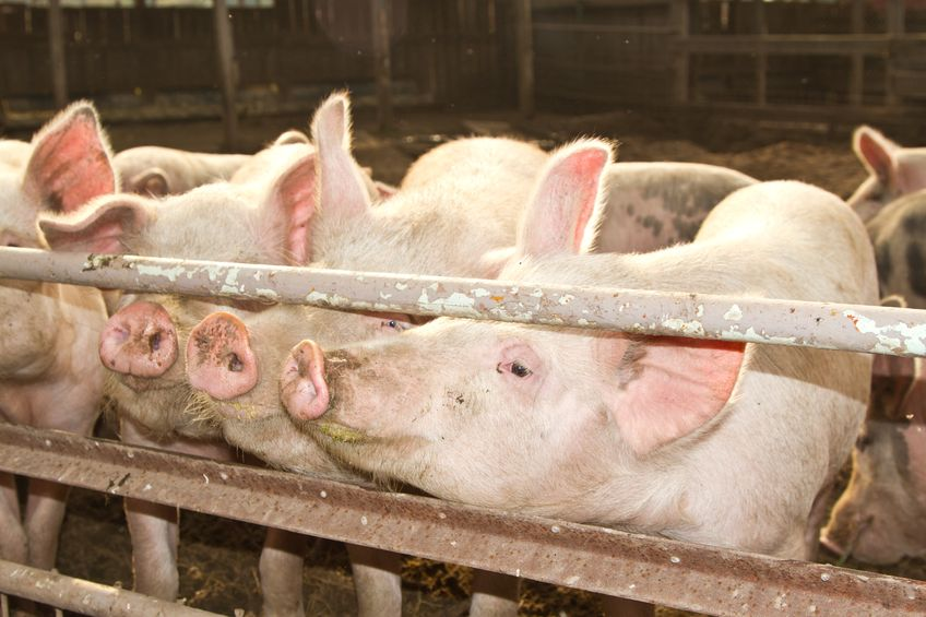 Farm leaders join forces to fight for British pig industry