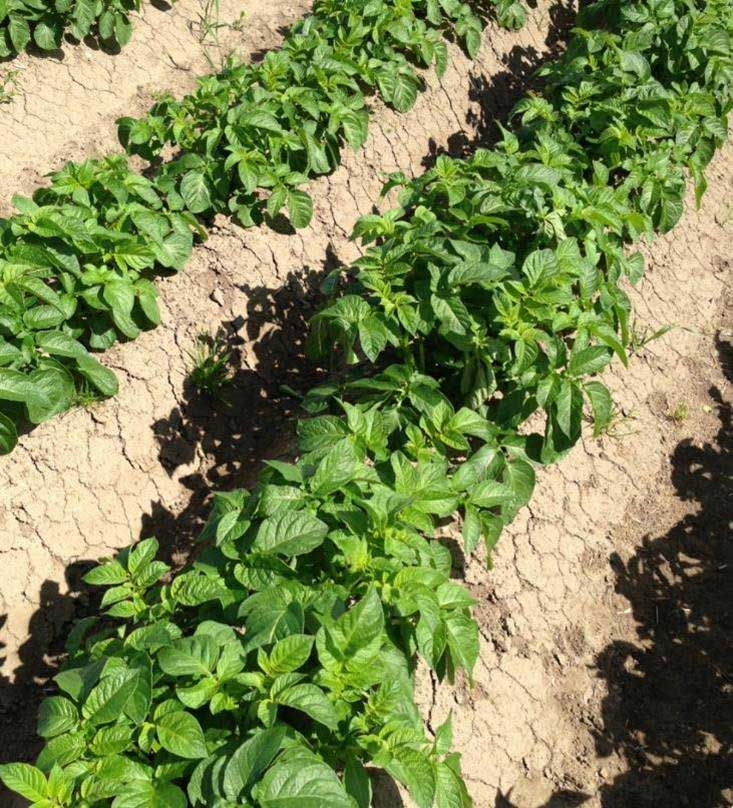 The Foundation Formulation For Potato Weed