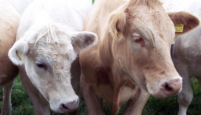 Veterinary associations urge vigilance following Bluetongue risk