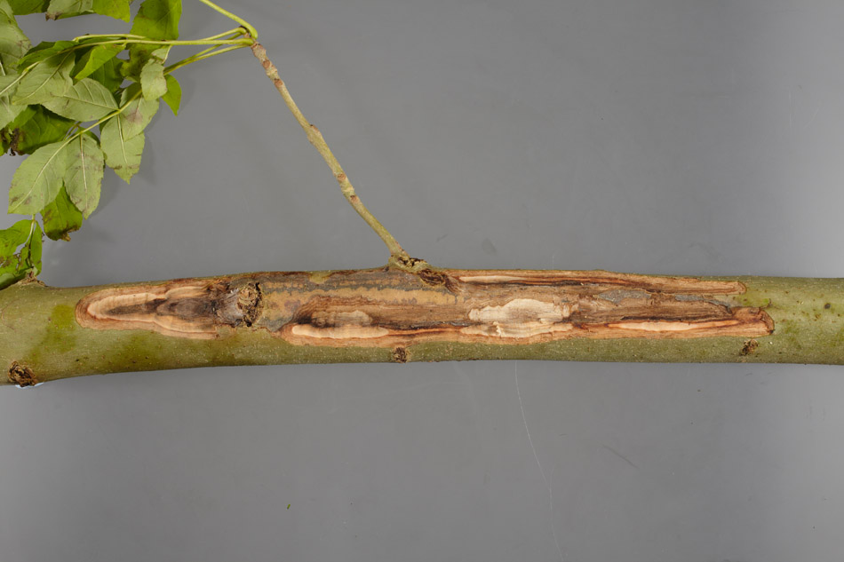 Landowners invited to tackle the impact of ash dieback