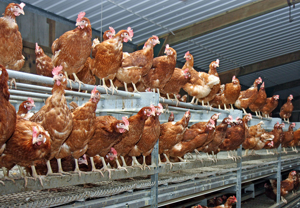 Tesco committed to free range egg multi-tier systems