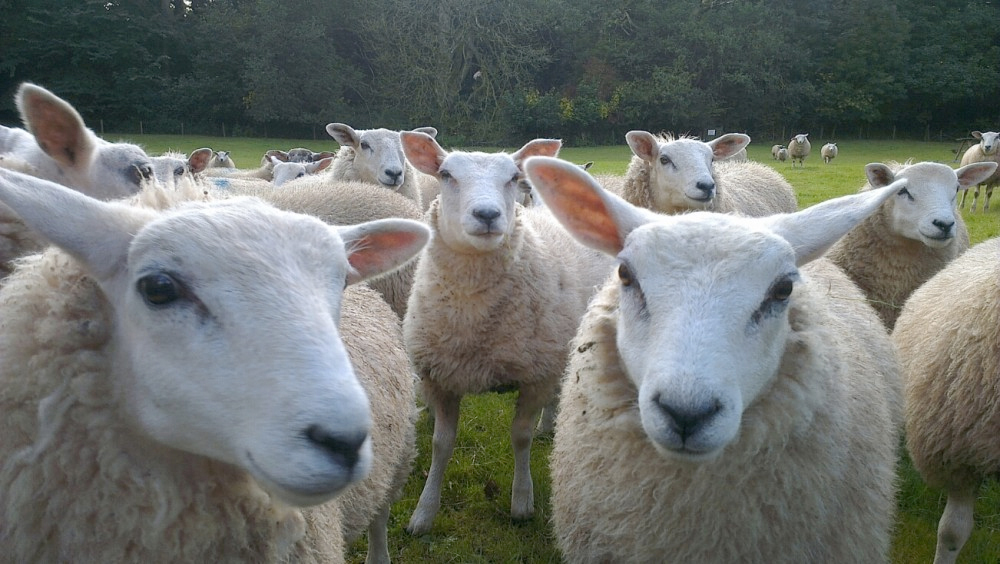 Sheep's facial expressions can detect disease pain, researchers say