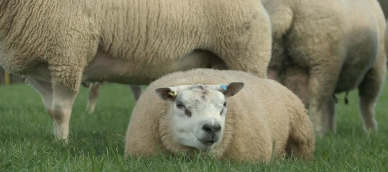 A good time to plan parasite control in sheep and cattle
