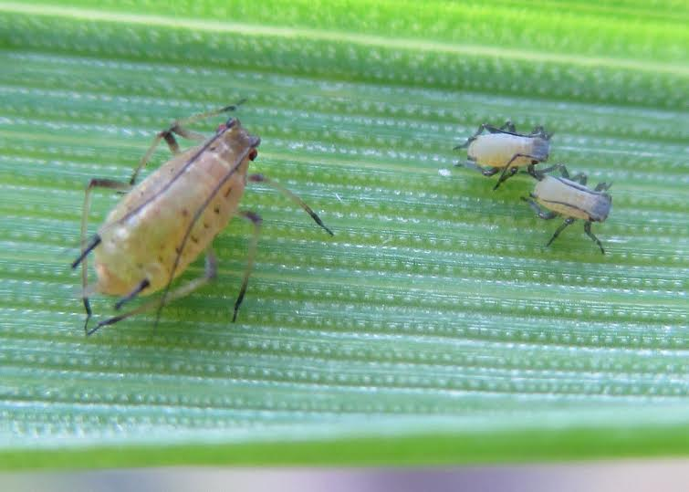 Early aphid moves risk BYDV spread to spring crops