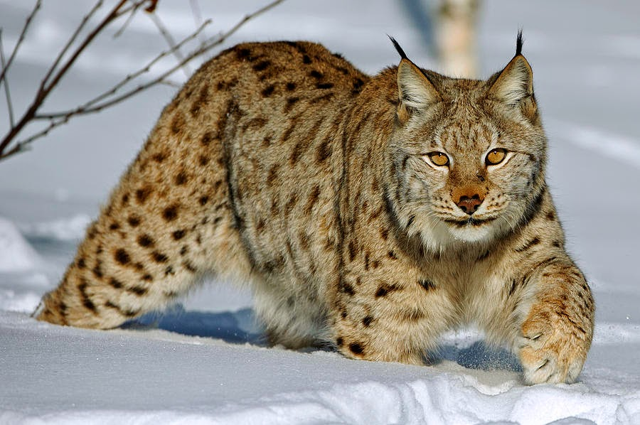 Swedish farmer gives warnings to possible re-introduction of lynx into British countryside