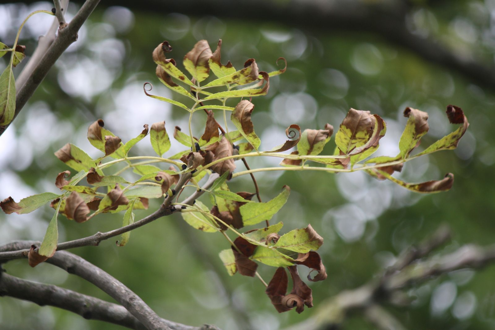 New hope for woodland owners battling devestating tree disease 'ash dieback'