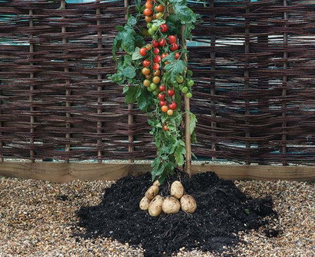 Morrisons launches hybrid plant in UK first - grows tomatoes and potatoes at the same time