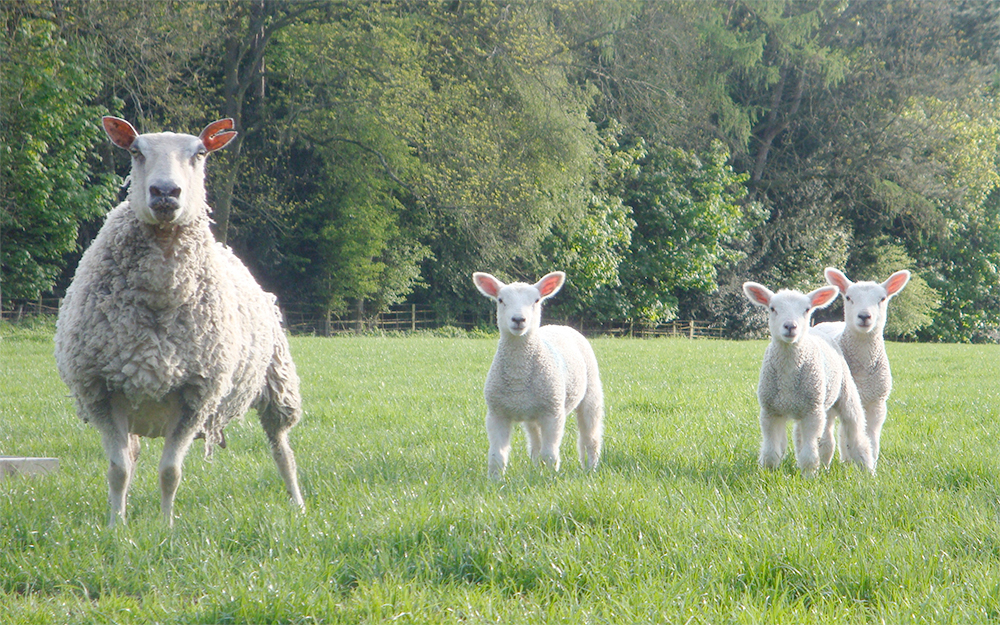 Spring lamb prices 'not good enough', says UFU
