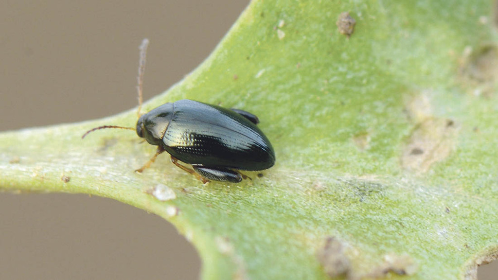 NFU applies for emergency use of neonicotinoid seed treatments to control stem flea beetle