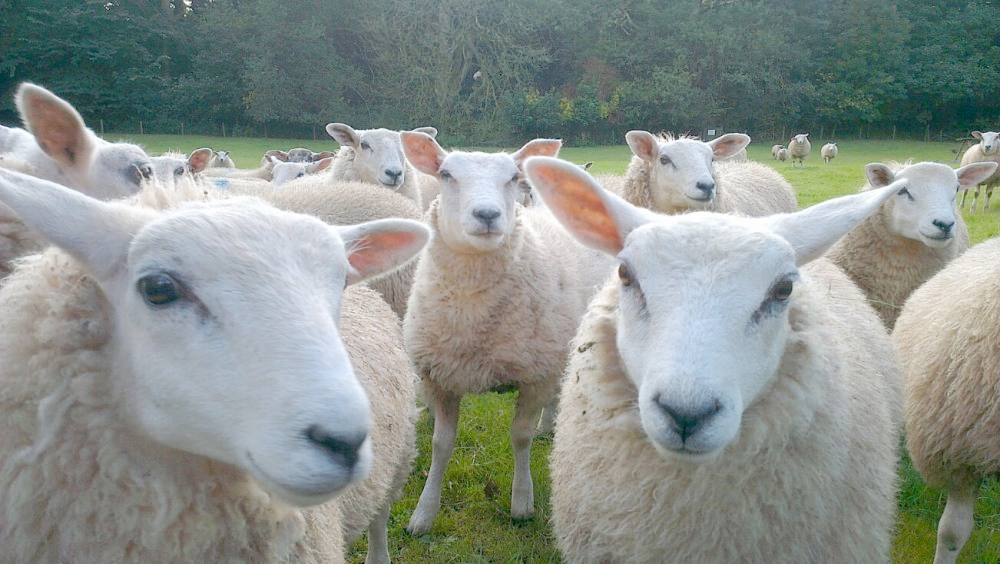 Sheep rustling scheme ready to go national