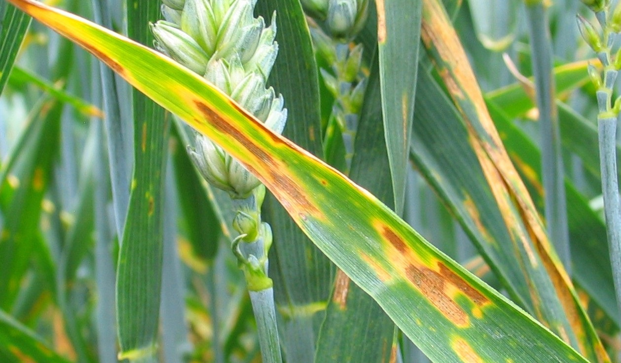 Highly SDHI resistant UK septoria isolates detected in crop tests