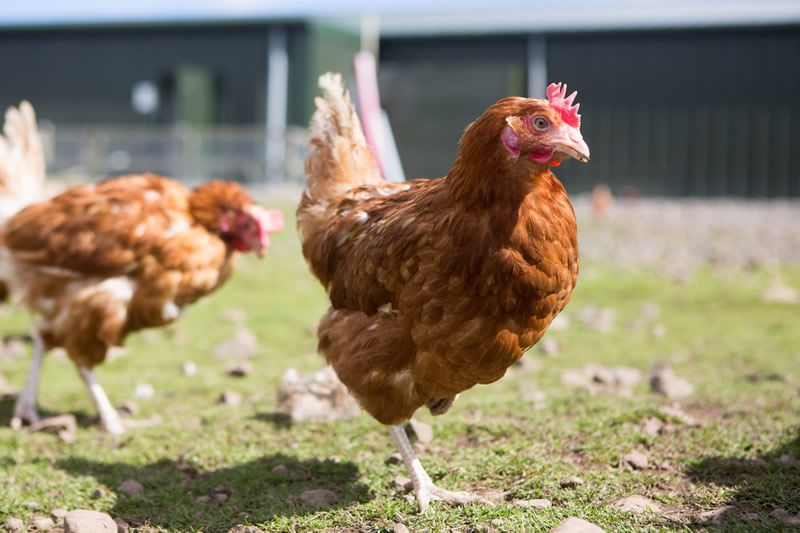 New poultry vaccine will 'offer longer and better protection' against salmonella