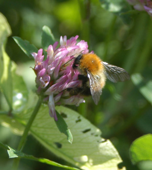 Sainsbury's helps the plight of the bumblebee