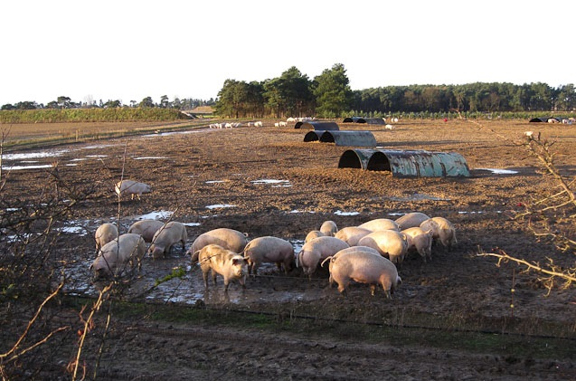 'Pig producers squeezed between rising feed costs and processor price increase failure'