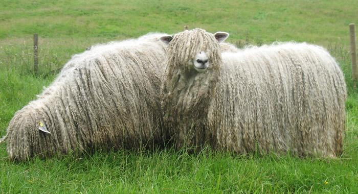 British Wool Marketing Board to showcase its work at South Sheep 2016