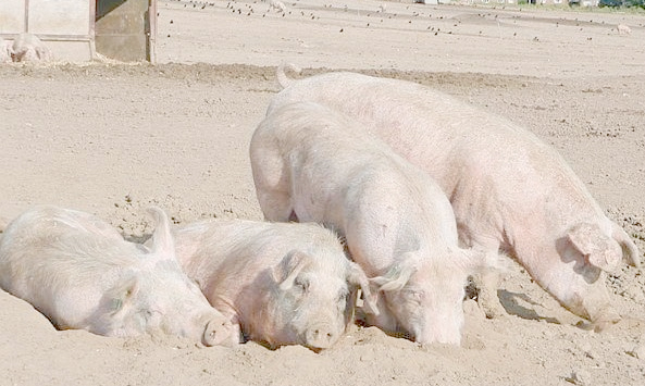 Pig prices poised to breach 120p barrier