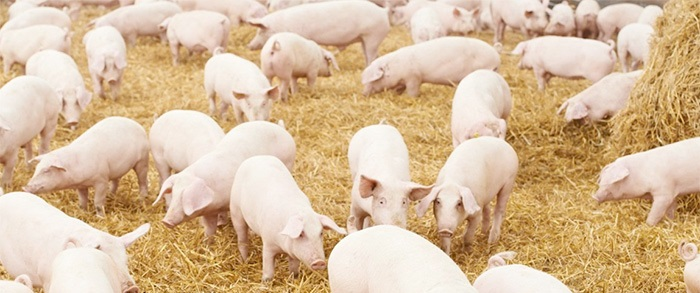 Pig industry seeks one of its own to receive highest honour it can bestow