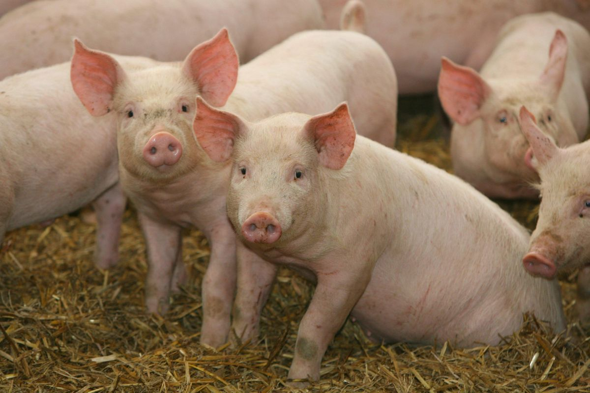 Data shows pig industry making progress on antibiotic control