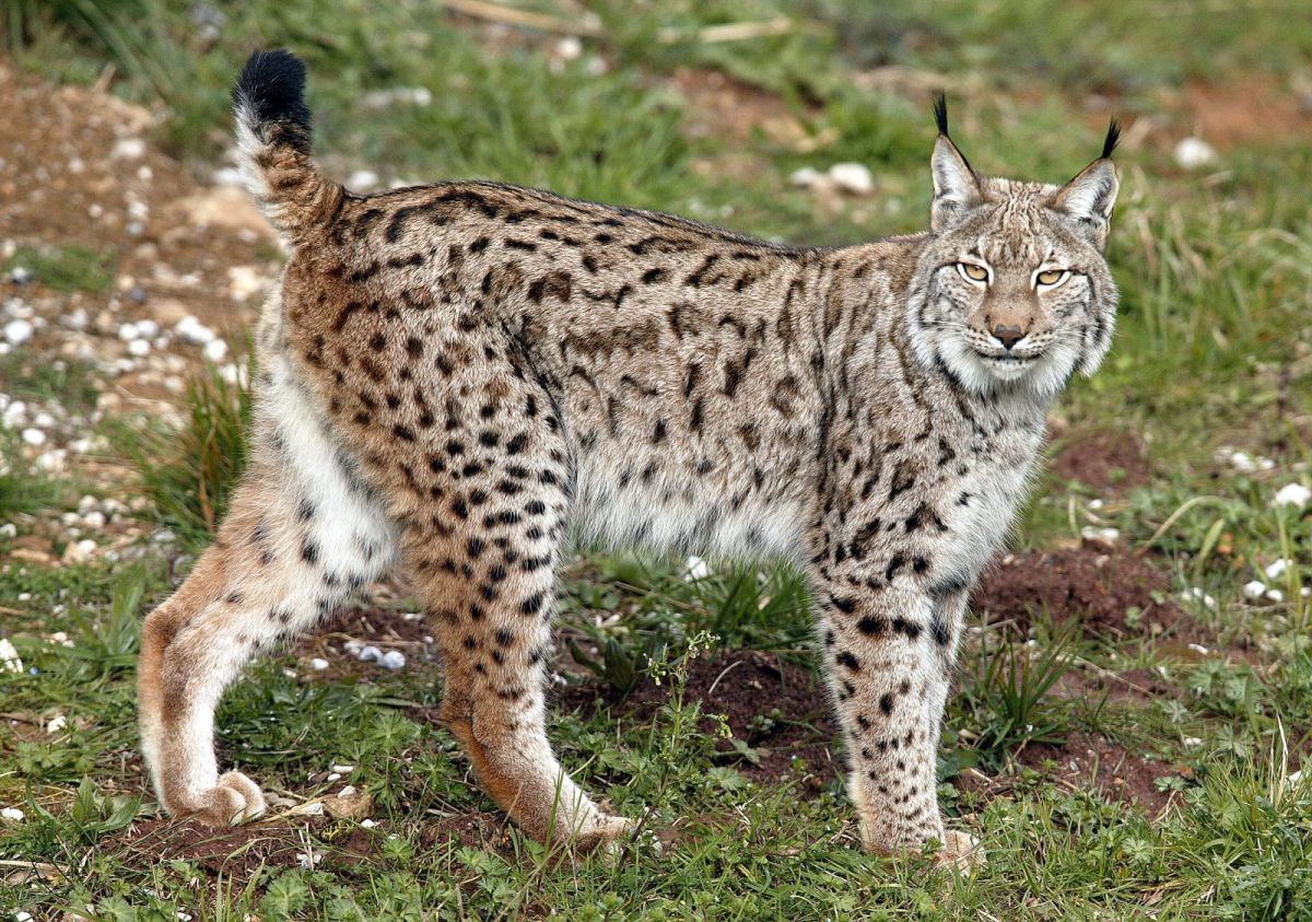 Sheep Association rejects Lynx Trust's invitation to join advisory group