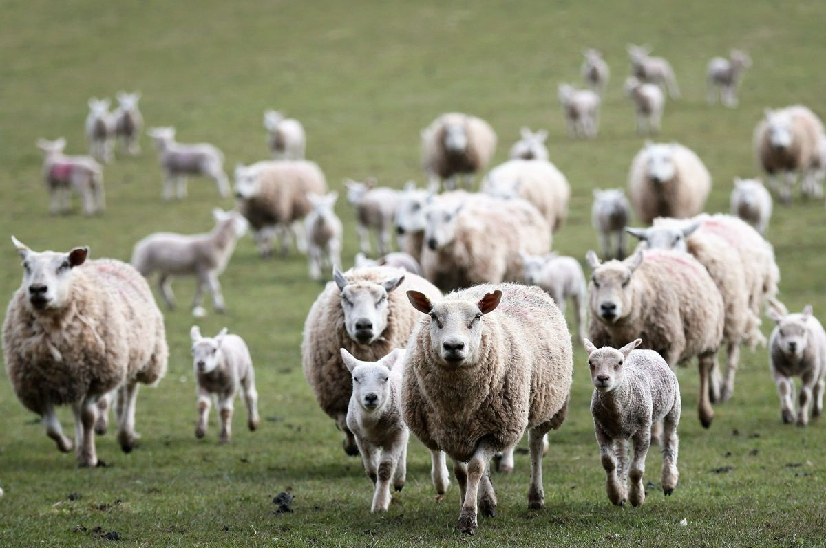 Sheep sector could be 'most affected' by leaving the EU