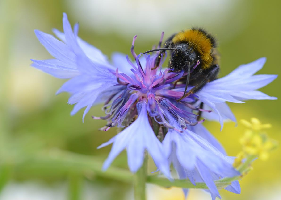 Public urged to plant bee-friendly flowers and cut grass less often in urge to help pollinators thrive