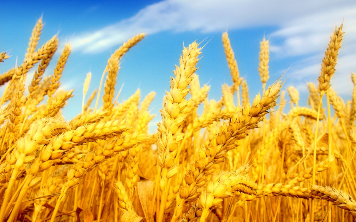 Forecasts reveal EU wheat and oilseeds production down this year due to bad weather