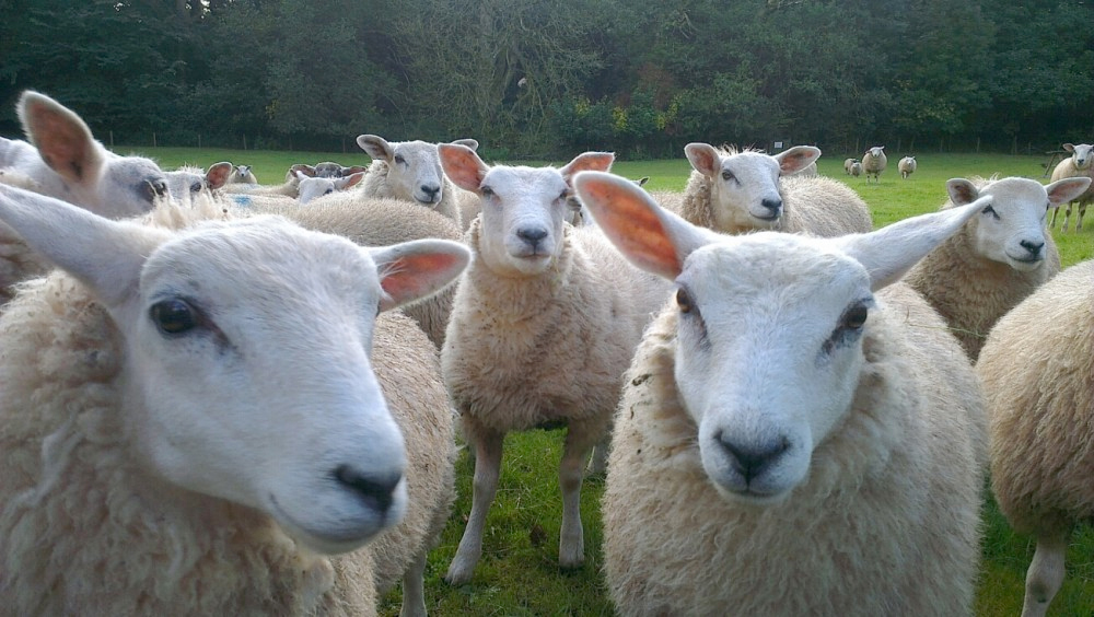Supply and demand remain influences on sheep trade