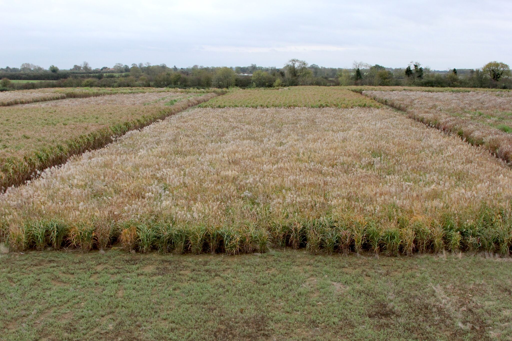 Miscanthus grown from seed available as soon as 2019