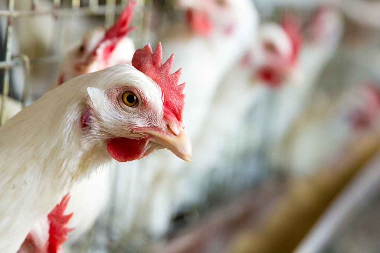 New research reveals why some chickens are resistant to serious strains of bird flu