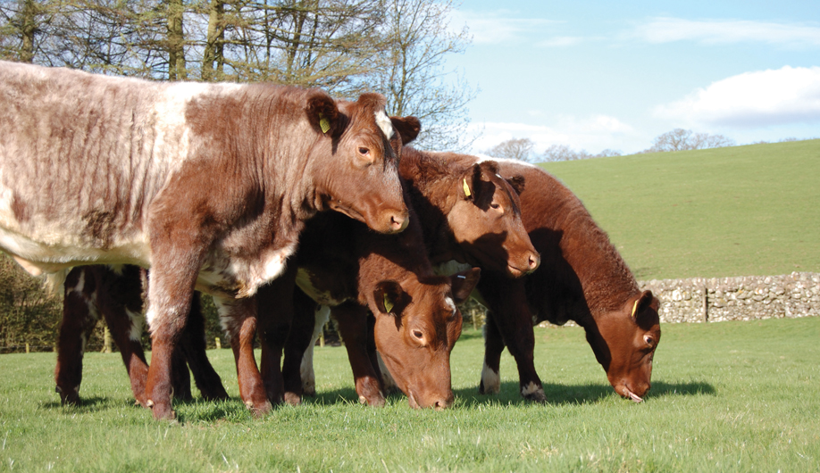 Morrisons to give Beef Shorthorn boost under new traditional native breed scheme