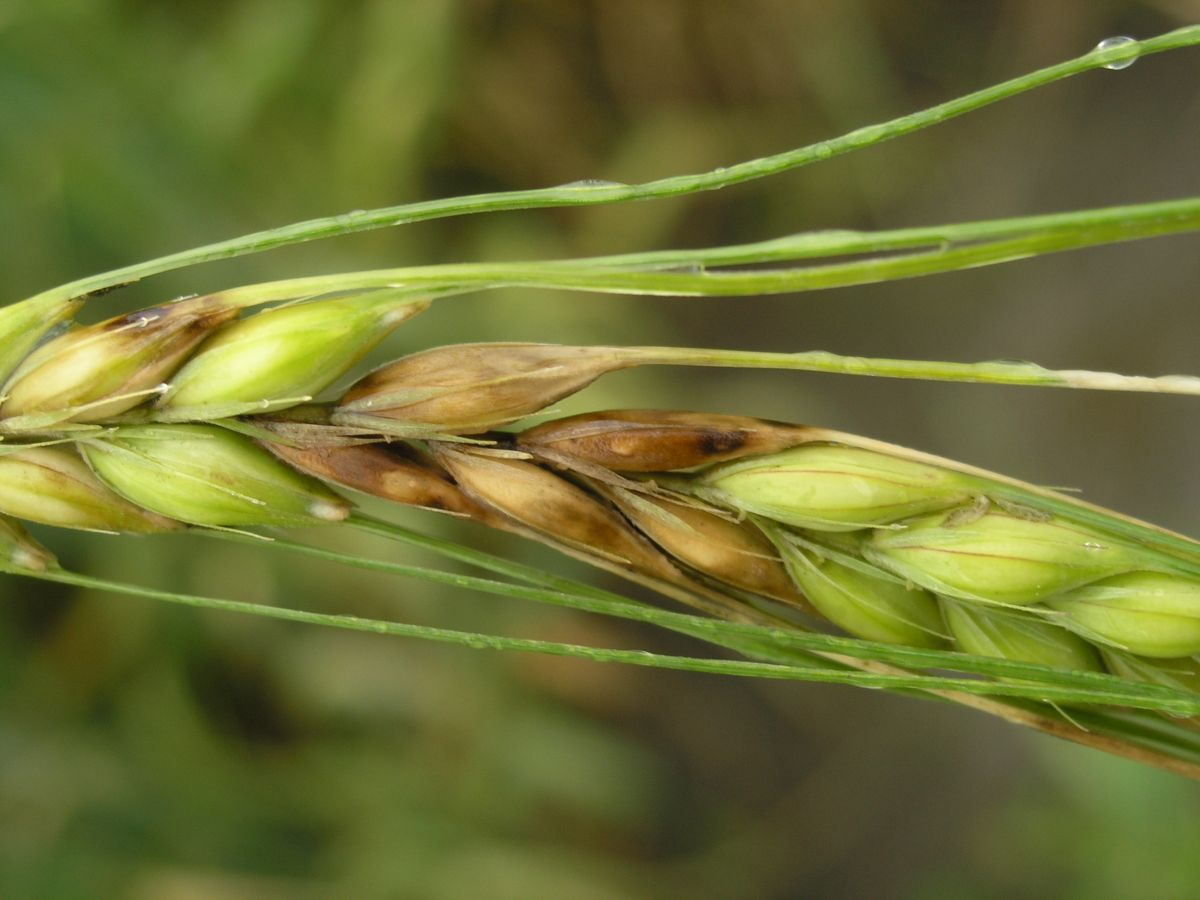 2016 risk results show 90 per cent of winter wheat area was at risk of infection