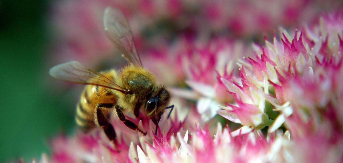 Honey bees, like all insect pollinators, provide crucial ecosystem and economic services