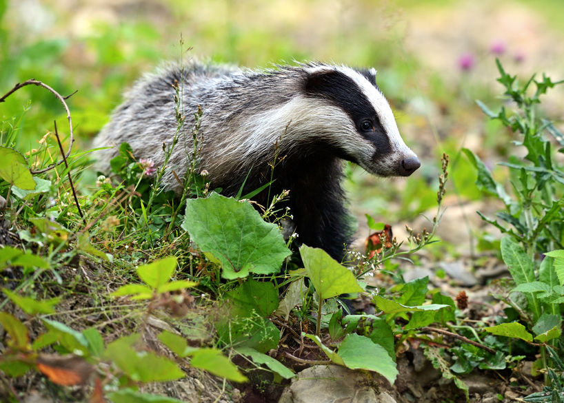 Badgers not infecting cattle with TB, new study suggests
