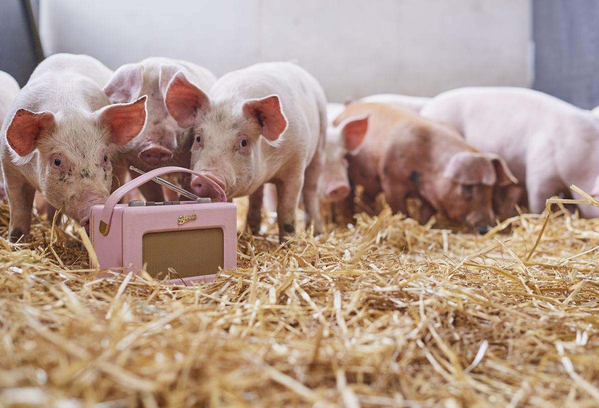 Award winning farmer plays classical music to happy pigs