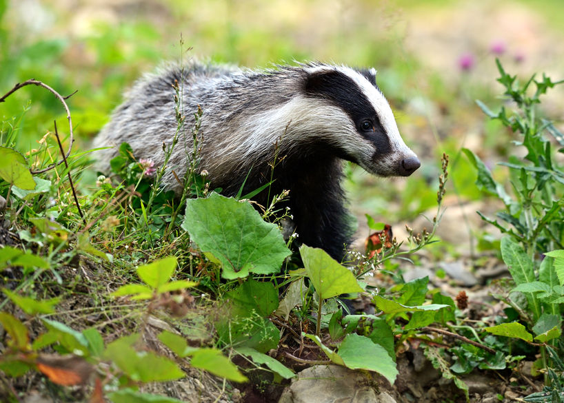 Research seeks dead badgers to test for TB