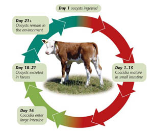 Farmers warned: Autumn calves at high risk of coccidiosis