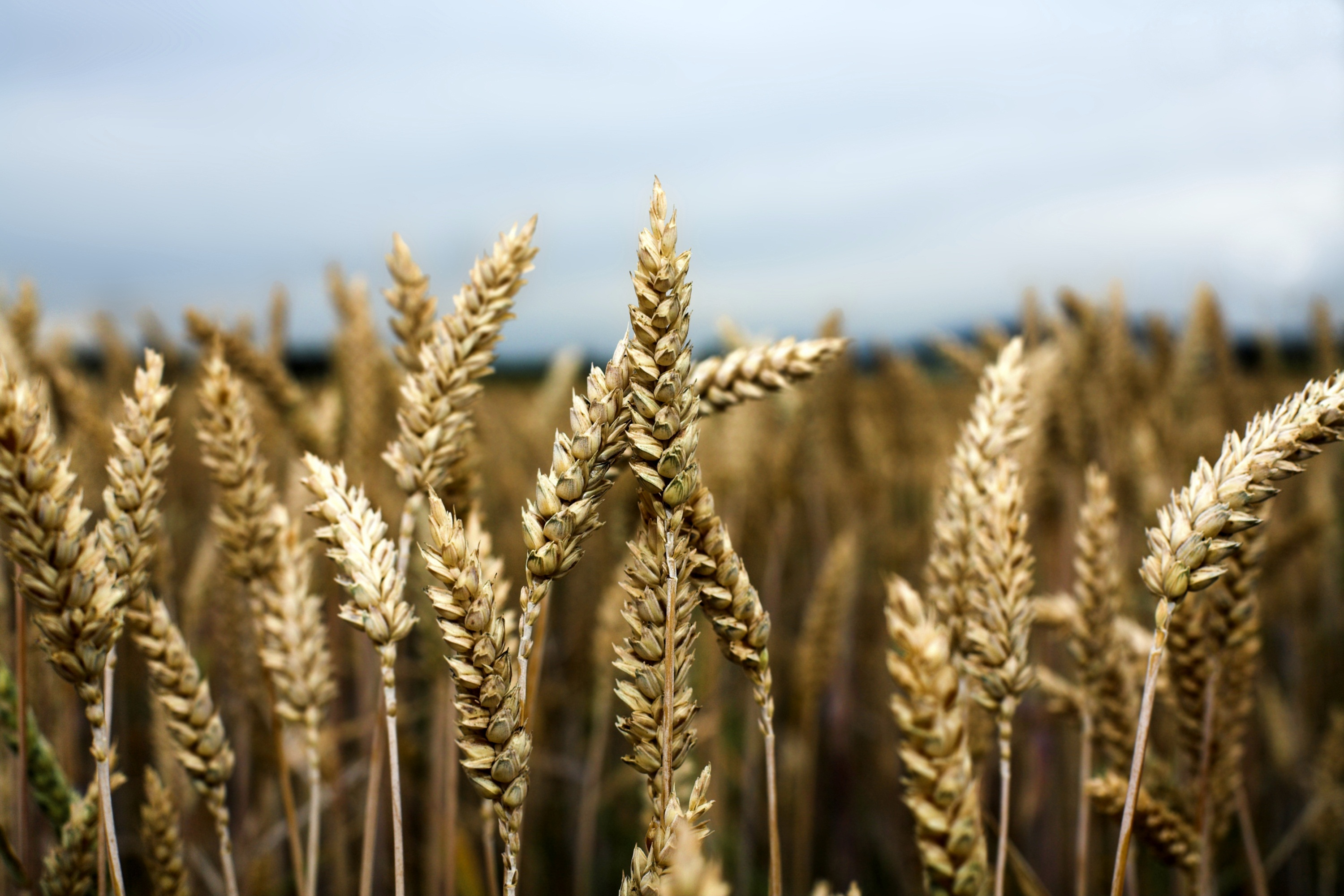 Arrival of high yielding milling wheats capitalises new export opportunities