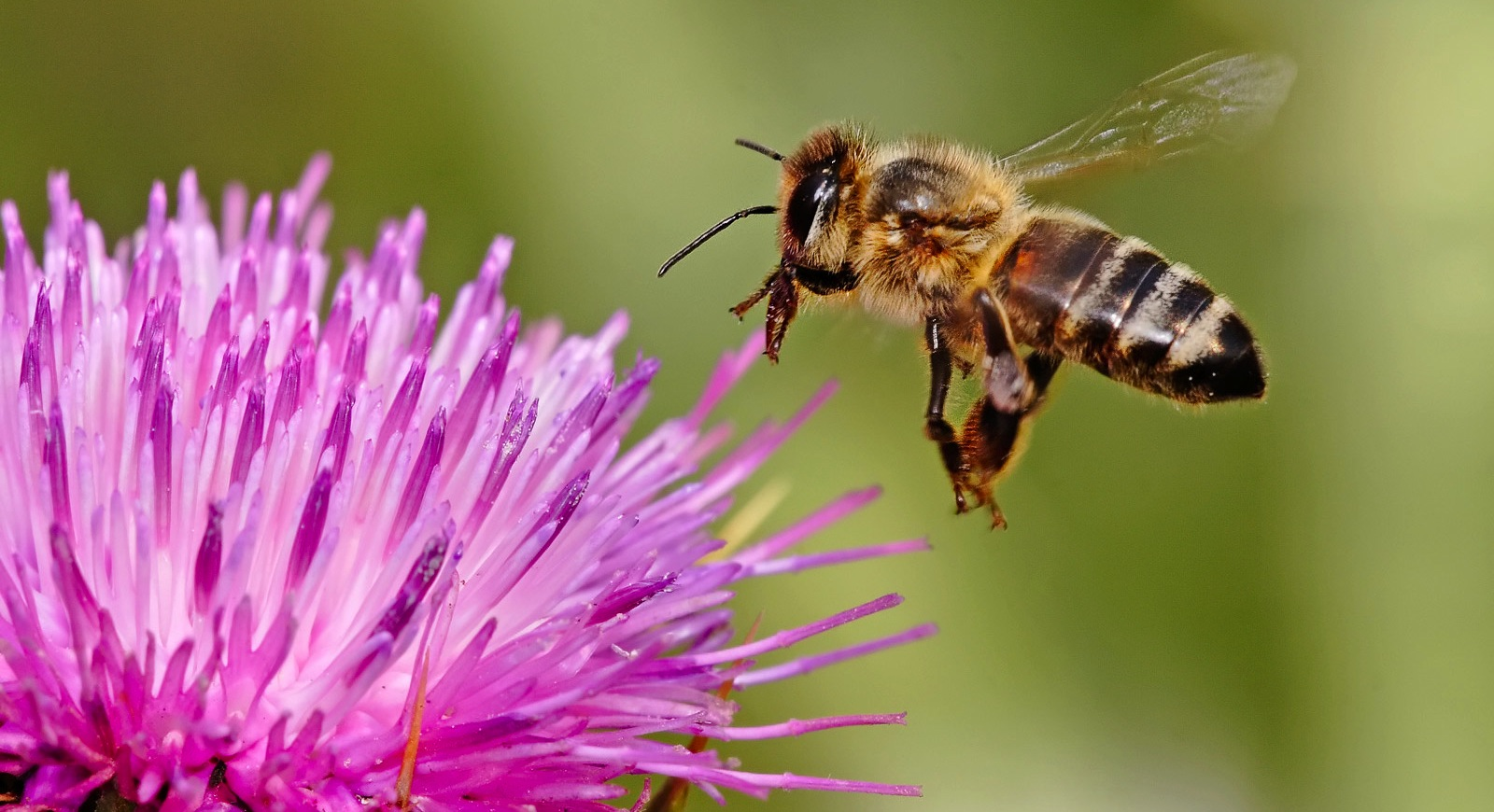 'Big agriculture has chance to help or hinder important pollinators', new research says