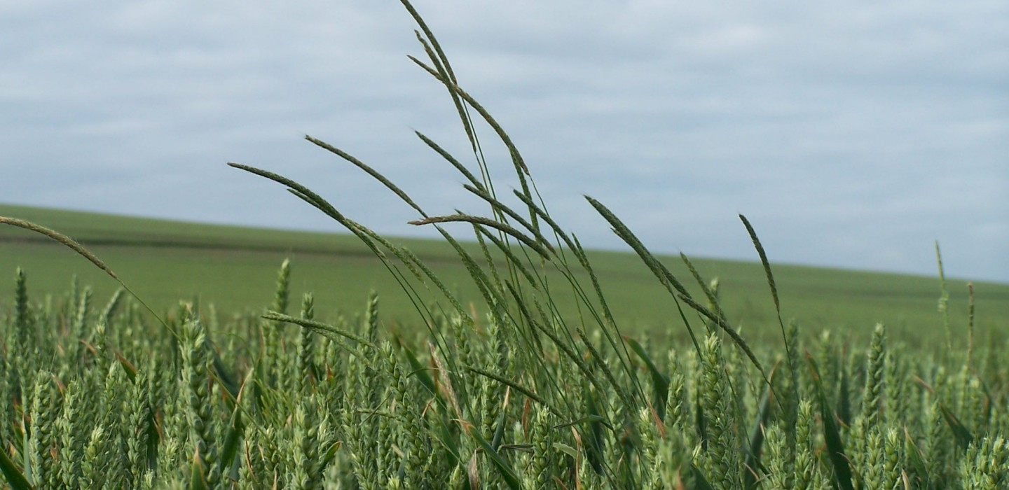 Blackgrass has 'serious effects' on profitability and productivity of 60 per cent of growers