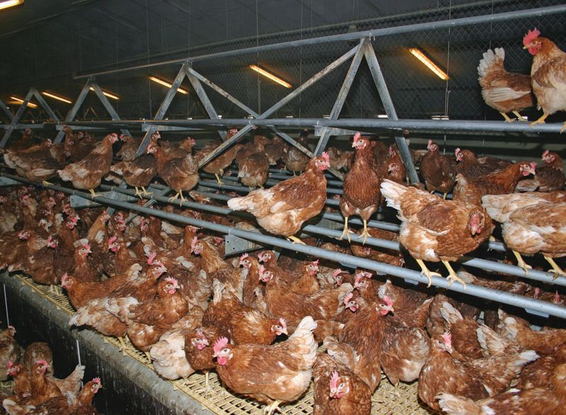 Freedom Food insists on more raised perches for free range hens