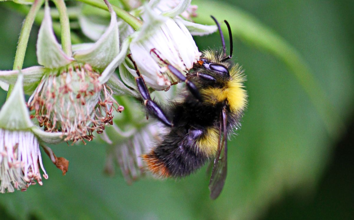 Replicating scent caused by plant infection could encourage declining bees to pollinate crops, new research finds
